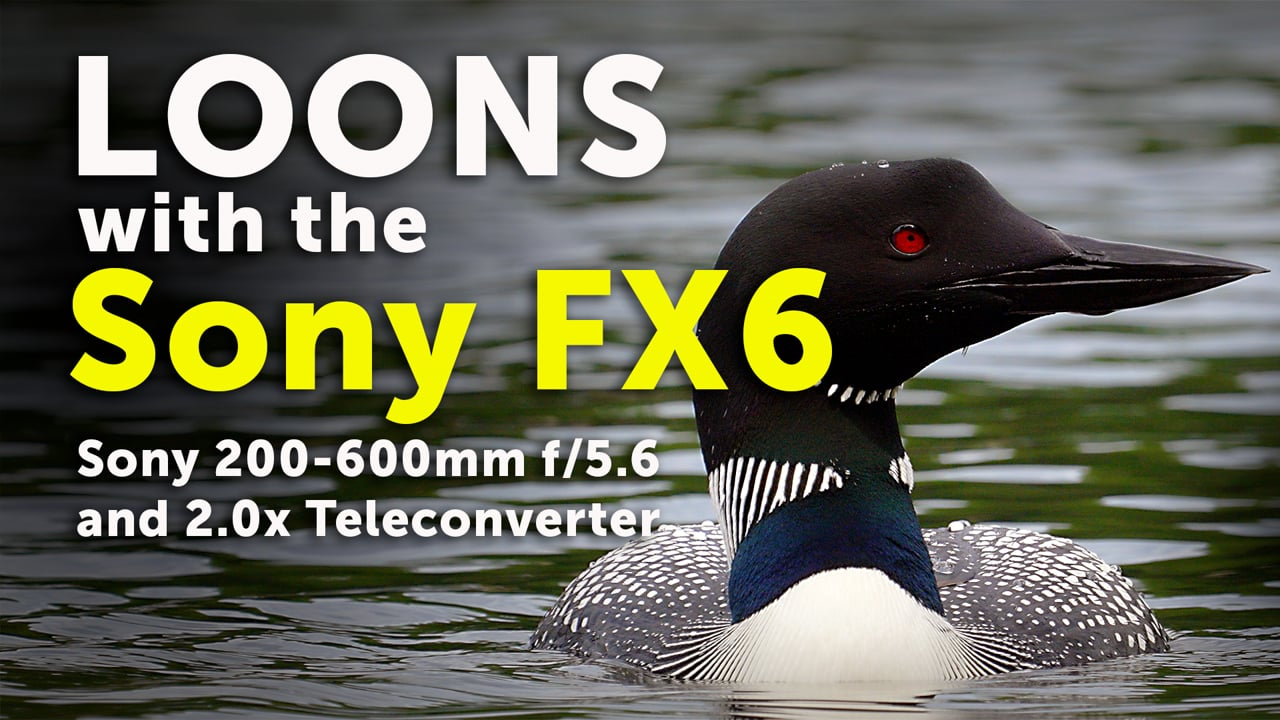 Sony FX6: Loons shot with the Sony 200-600mm lens (4K)