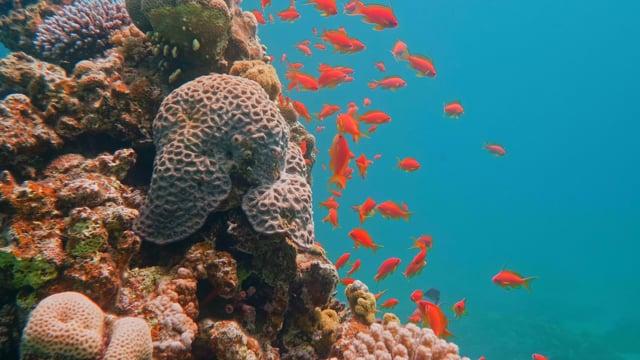 Wonders of the Red Sea - Colorful Coral Reef Inhabitants