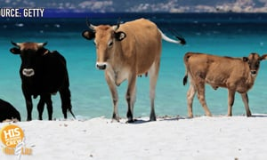The beach has gone to the cows...