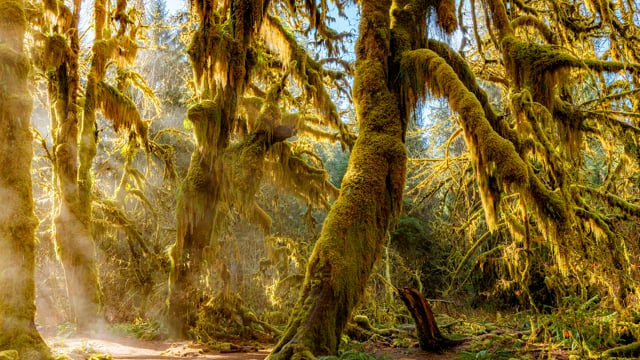4K Rainforest Walk with Nature Sounds - Hall of Mosses Trail and Spruce Nature Trail