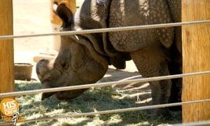 Rhino-sauras Escapes Zoo