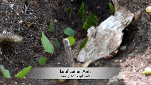 Ants, Leaf-cutter (Belize 2021)