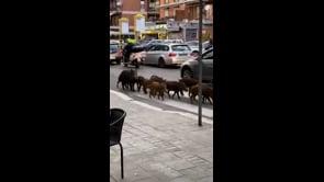 Cinghiali a spasso a Roma tra le auto