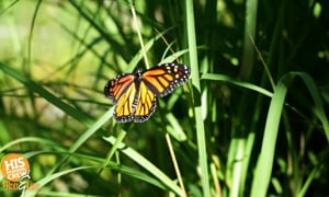Woman Helps Monarch Butterfly Fly Again!