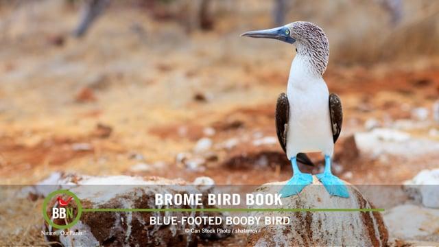 Brome Bird Book