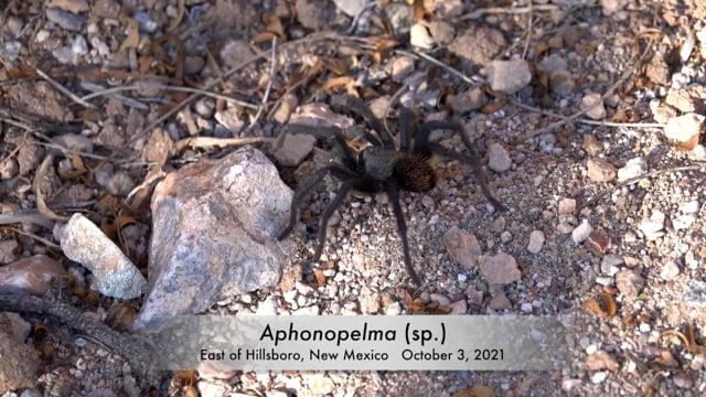Aphonopelma New Mexico 2021