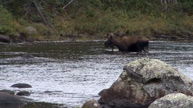 Newfoundland Moose Hunt with Host Ruth McCuin