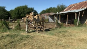 Camel Feature at Texas Camel Corps