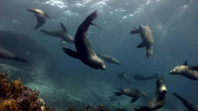 Fur Seals, Narooma, NSW