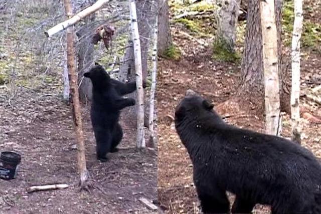 Alberta Bear Hunting with Roger Tate
