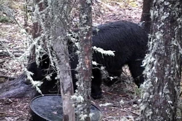 Father/Son Black Bear Hunt in Alberta