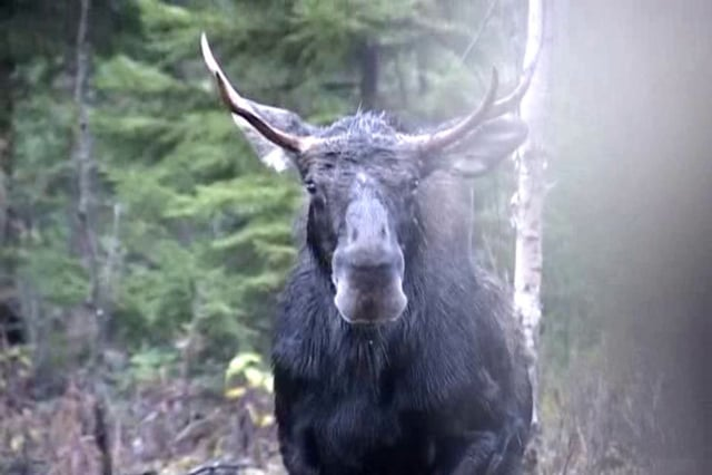 Vermont Moose Hunt