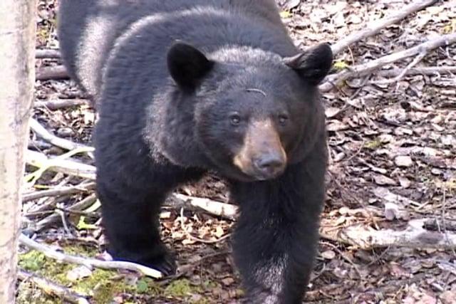 Newfoundland Black Bear Hunt