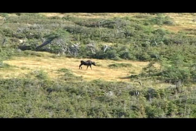 Newfoundland Moose Hunting