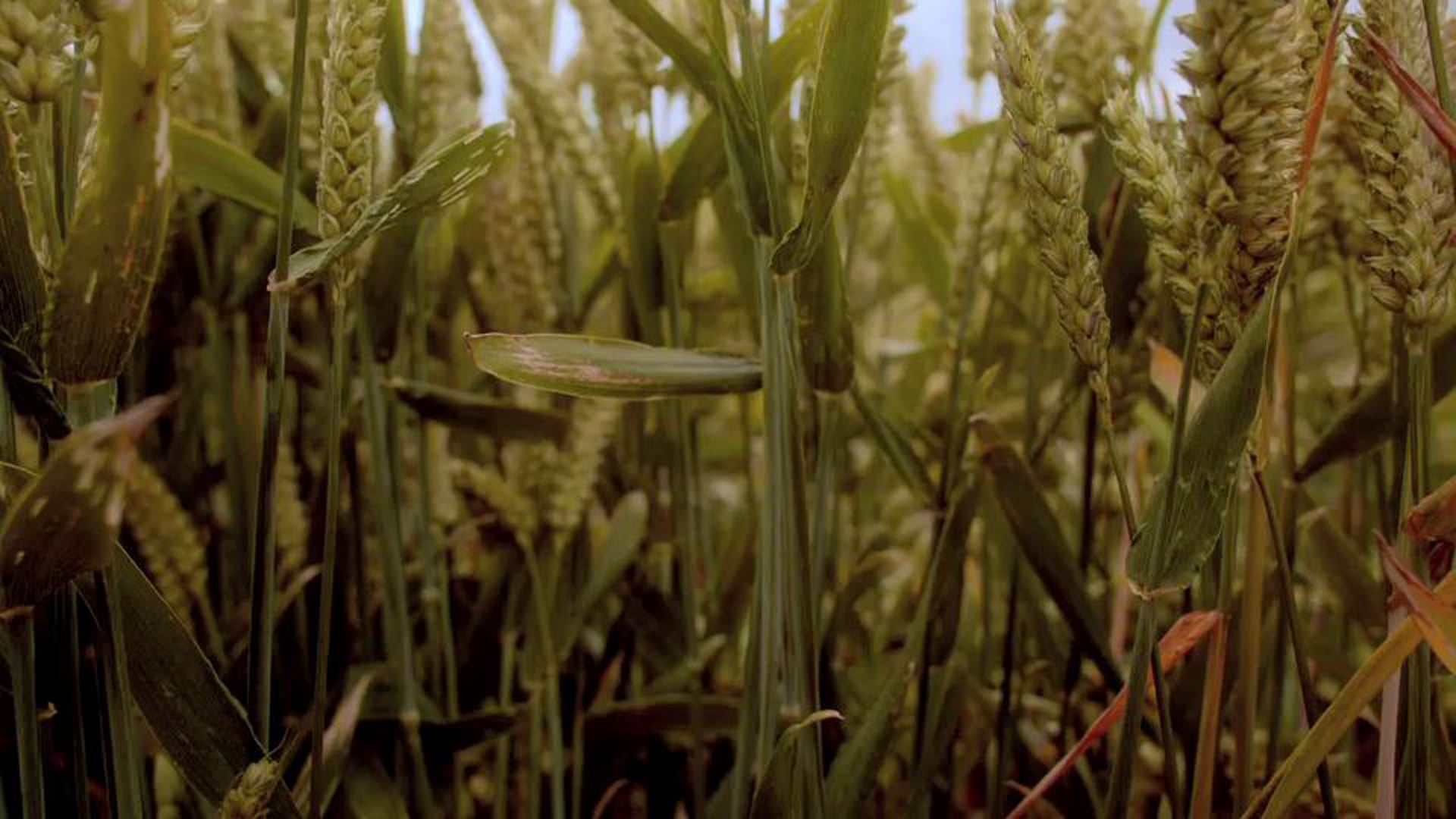 Dr Who-Cornfield sequence