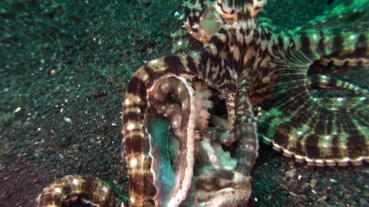 Mimic Octopus - including a fight!