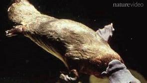 The platypus genome