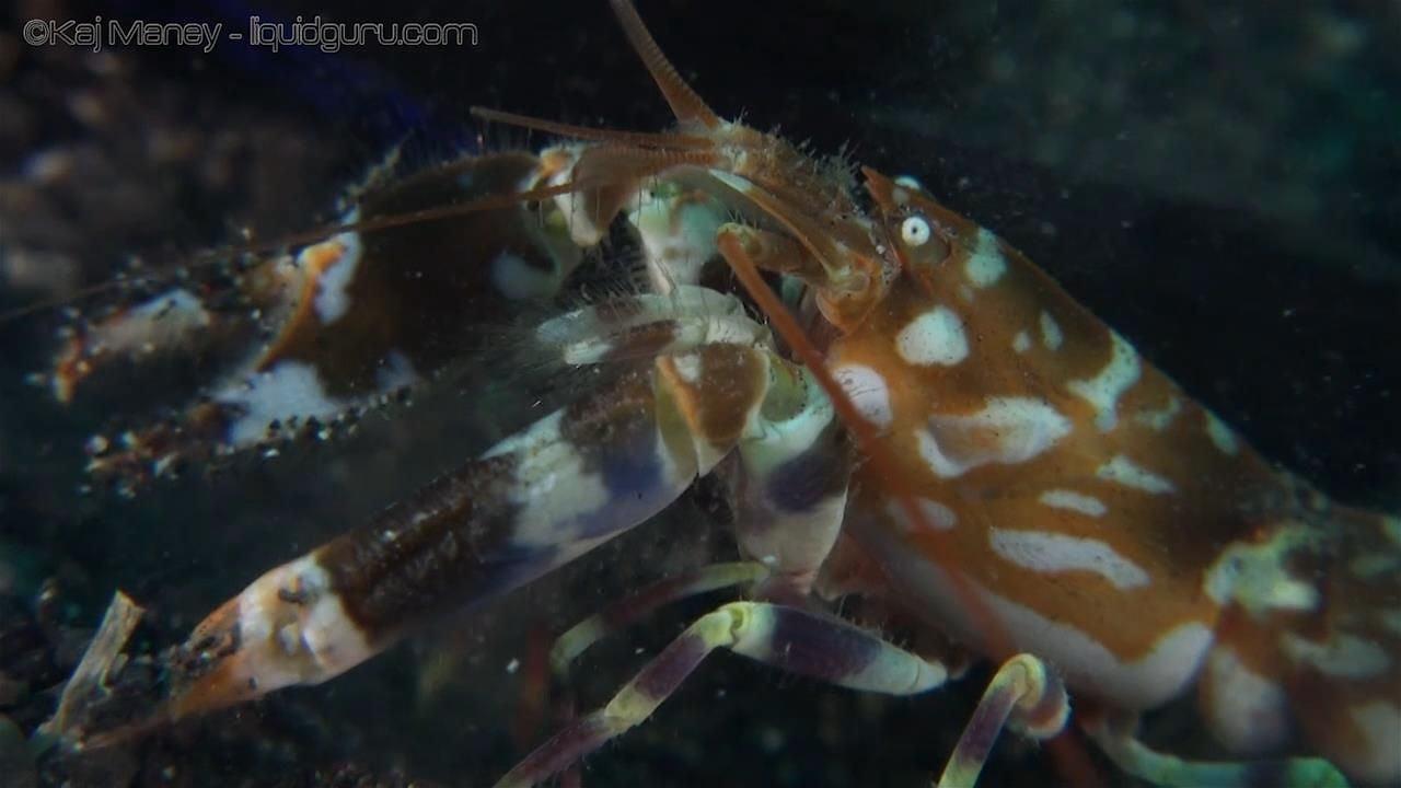 Shrimp and Shrimp Goby