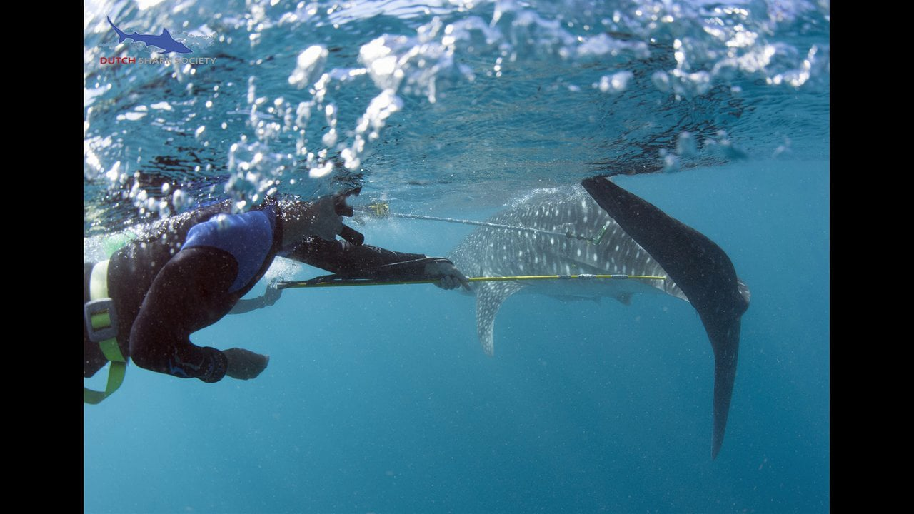 DutchShark Society Whale Shark Tagging