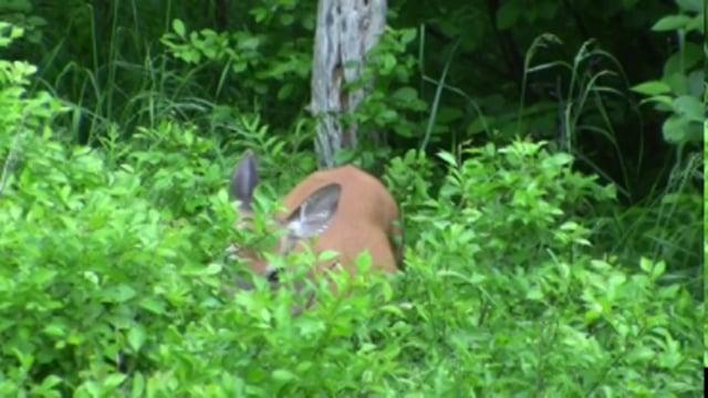 Deer Eating Plant Leaves