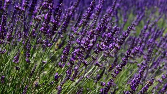 Lavender Plants in a Garden