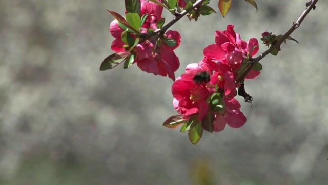 Bumblebee on a Redbud Flower