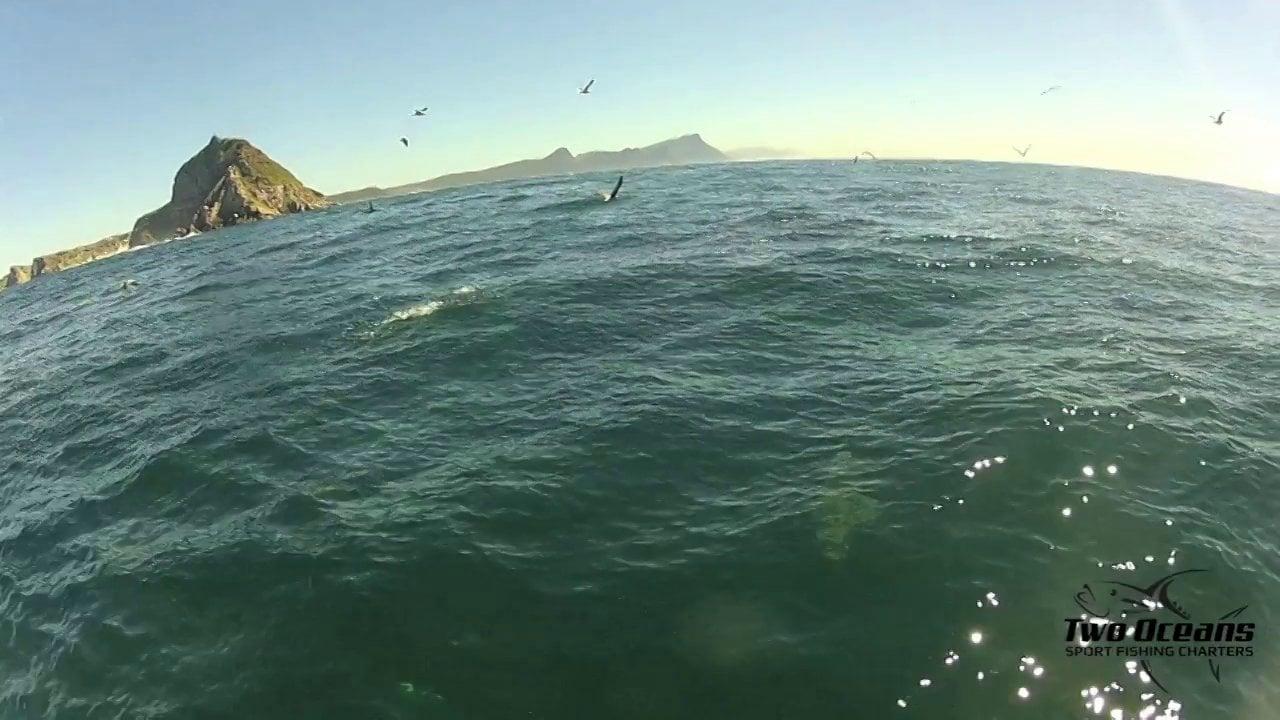 Bronze whaler feeding frenzy