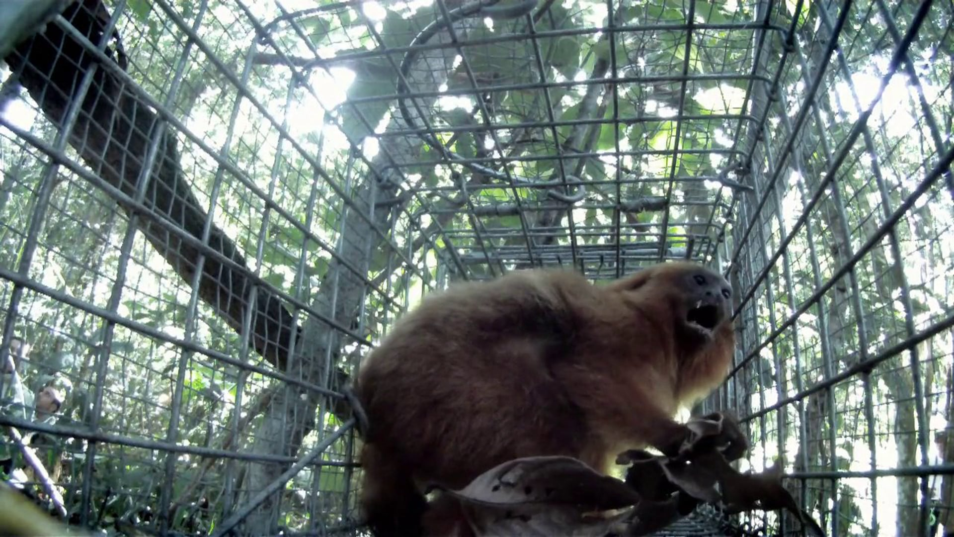 Salvos da Extinção - Mico Leão Dourado (Trailer)