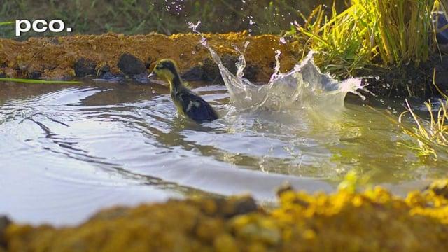 Ducklings ahead in Guyana - in slow motion
