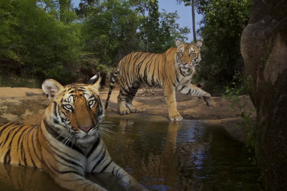National Geographic photographer Steve Winter photographs tigers in the wild on Vimeo