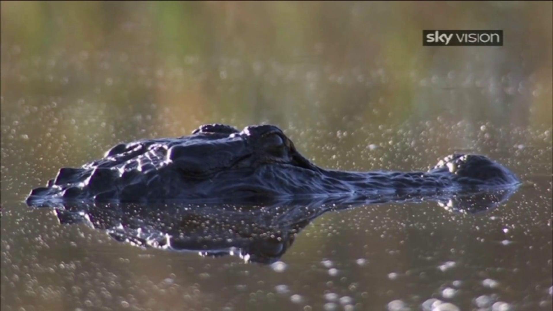 Swamplands - Cajun Country: Alligators