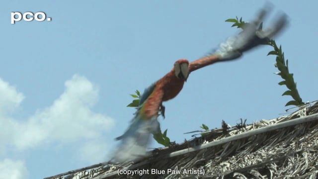 Flying Macaw in Guyana