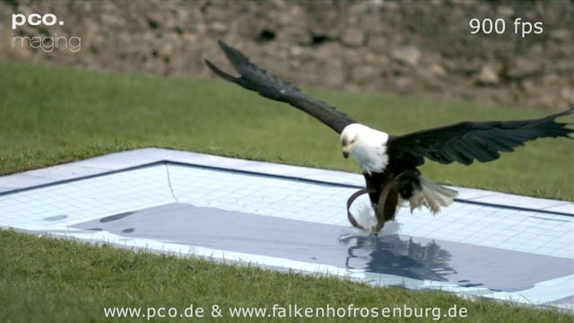 African Eagle Catching Pray in a Pool - in Slow Motion