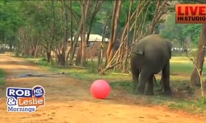 A Herd of Elephants Plays with A Big Red Ball