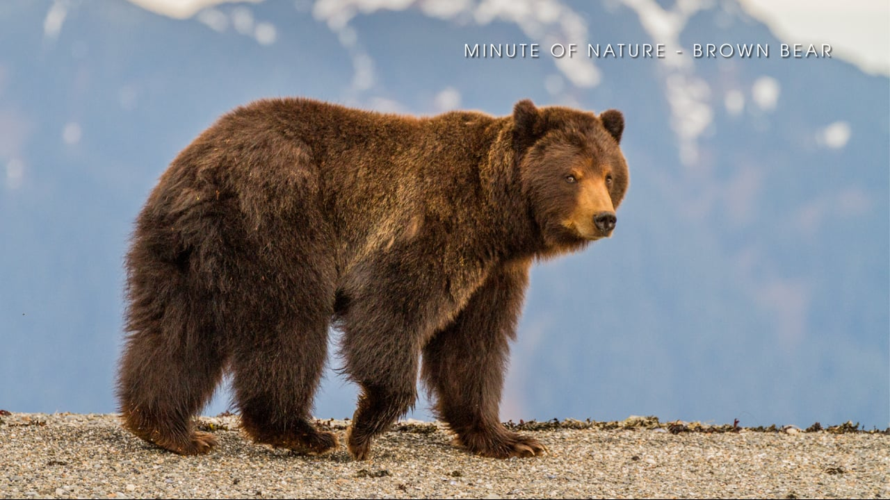Minute of Nature - Brown Bear