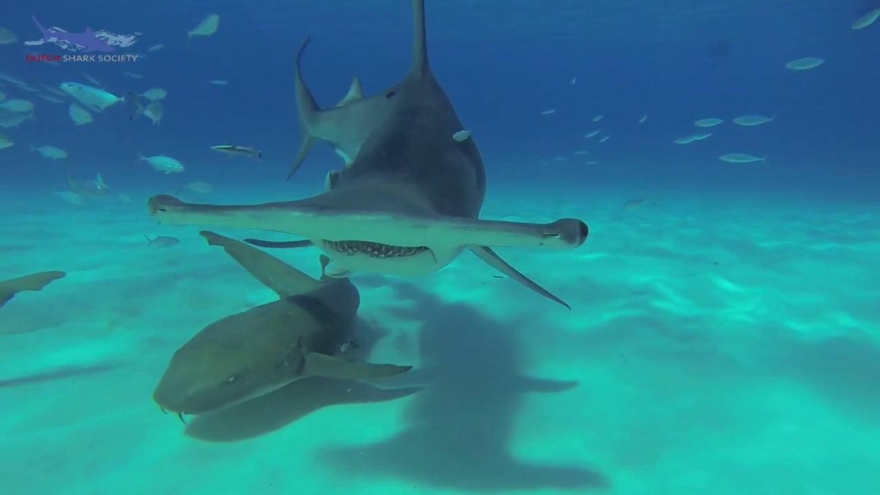 Bimini, Bahamas, Great Hammerhead Sharks