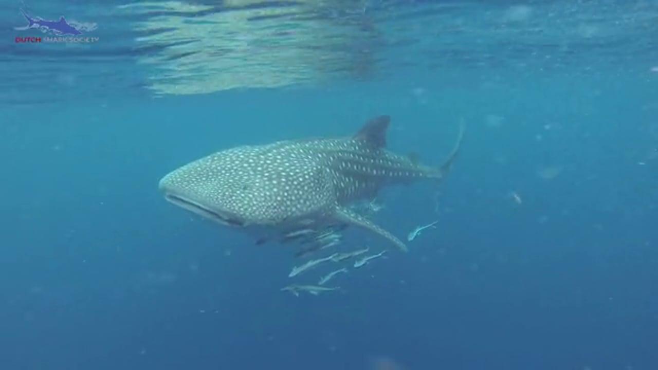 Whaleshark research Ningaloo reef (Dutch spoken)