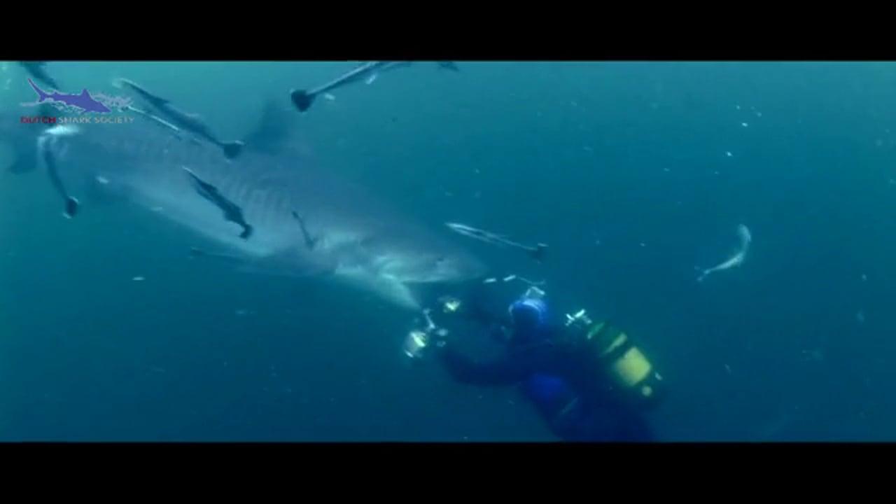 Tiger shark and photo camera