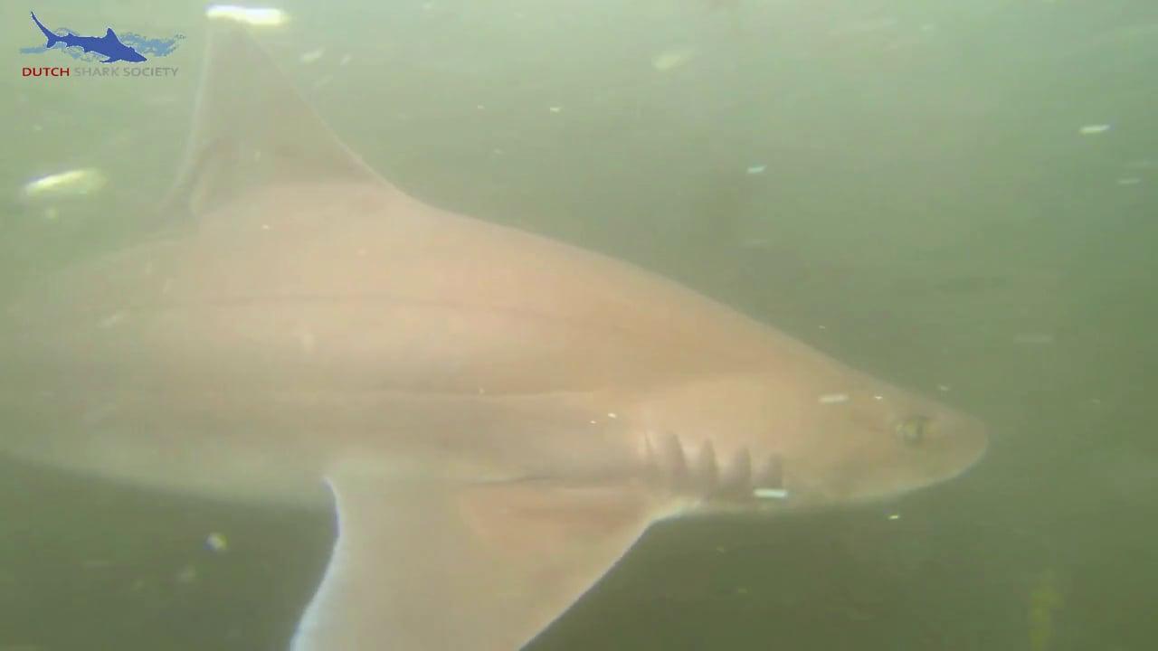 Dutch Shark Society Smoothhound research 2013