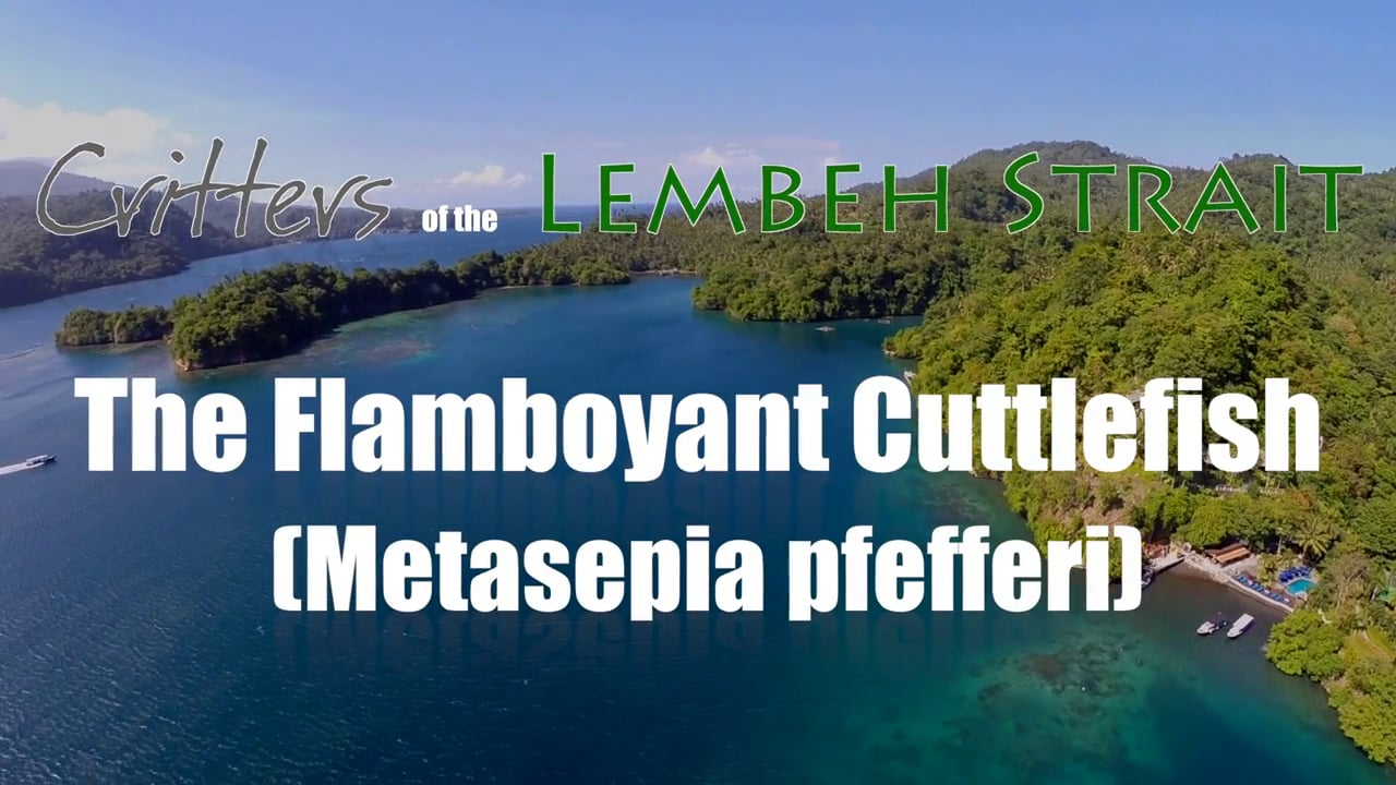 The Flamboyant Cuttlefish (Metasepia pfefferi)