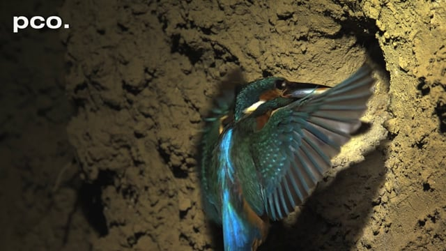 Kingfisher in slow motion I.