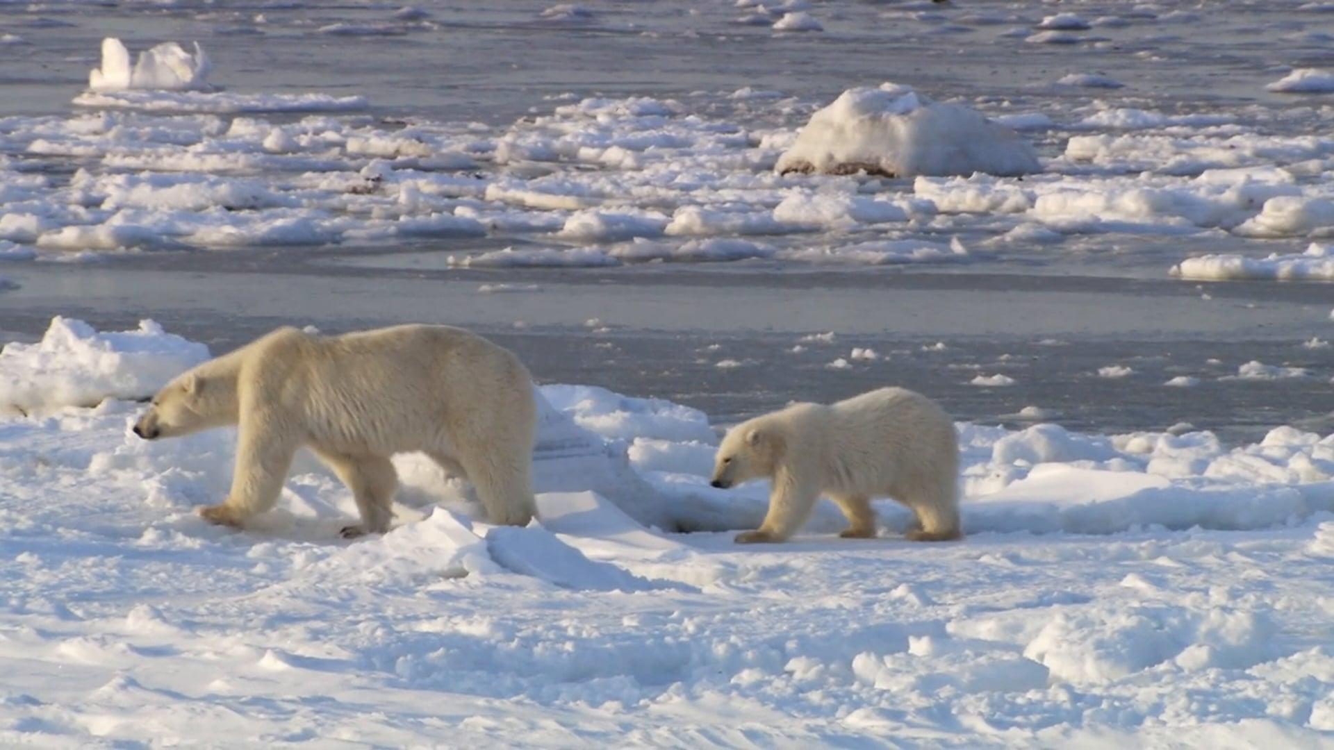 Ice Bear Trailer