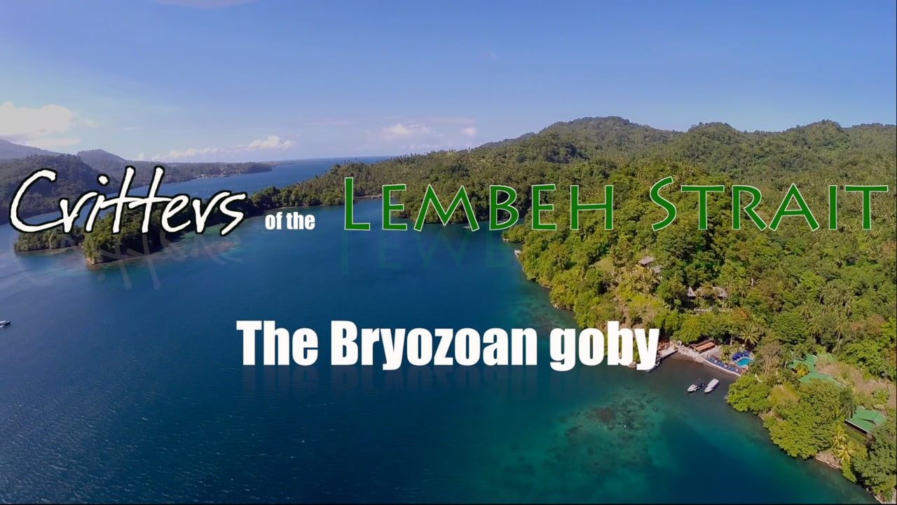 Critters of the Lembeh Strait   The Bryozoan Goby