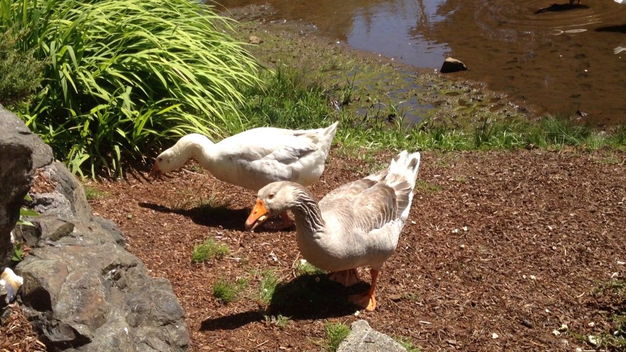 Geese @ Mingus Park (Coos Bay)