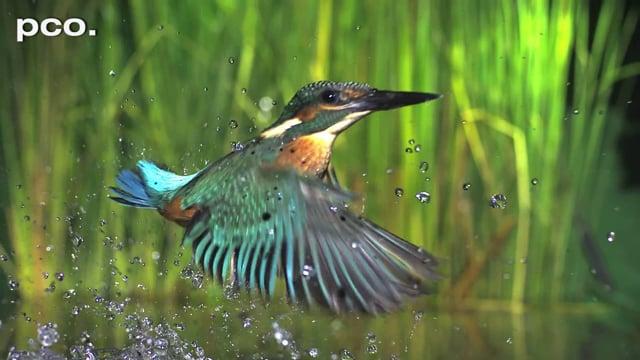 Fishing Kingfisher in slow motion II