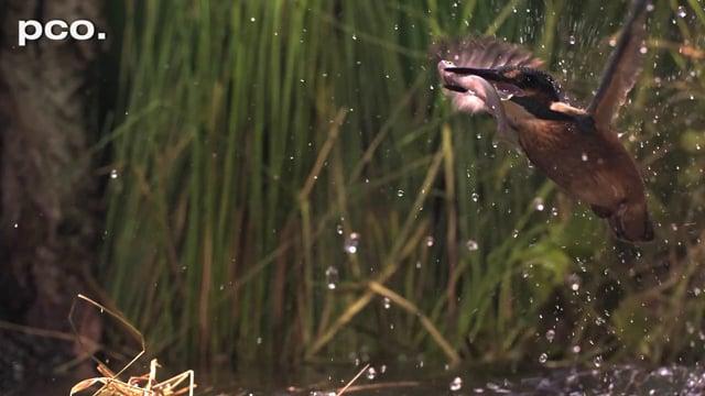 Fishing Kingfisher in slow motion III