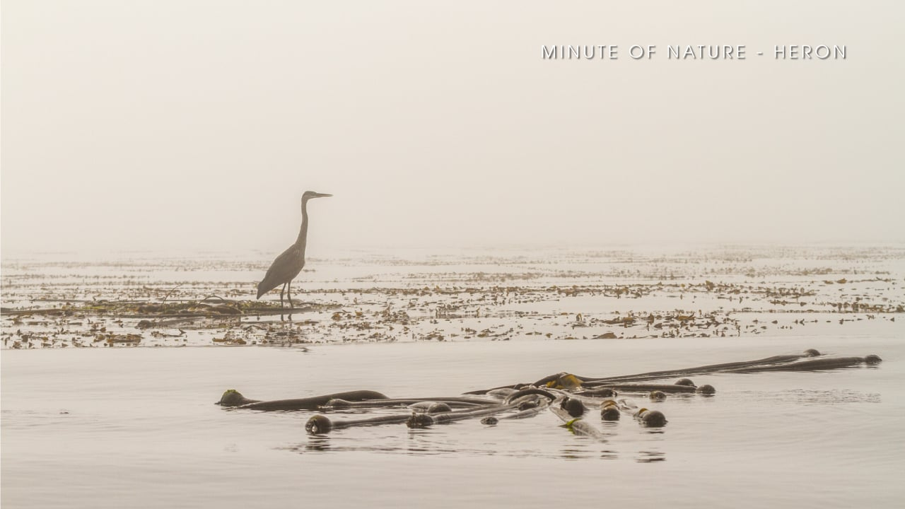 Minute of Nature - Heron