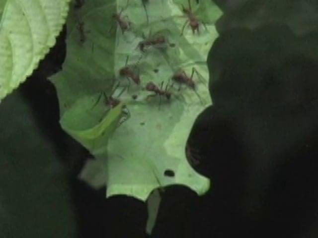 Ants, Leaf-cutter (Panama)