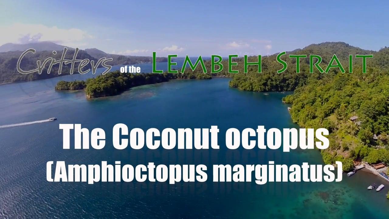 Critters of the Lembeh Strait   The Coconut Octopus (Amphioctopus marginatus)