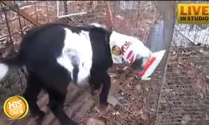 Buzz the Goat Really Likes Chips